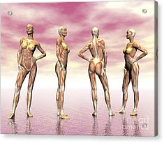 Female Muscular System From Four Points Acrylic Print by Elena Duvernay