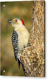 Female Red-bellied Woodpecker Acrylic Print by Bill Wakeley