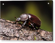 Female Rhinoceros Beetle Acrylic Print by Frank Teigler