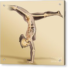 Female Skeletal System Acrylic Print by Anatomical Travelogue