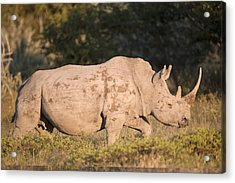 Female White Rhinoceros Acrylic Print by Science Photo Library