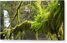 Ferns And Moss Growing On A Tree Limb Acrylic Print by William Sutton