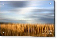 Field Of Maize Acrylic Print by Bernard Jaubert
