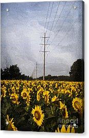 Field Of Sunflowers Acrylic Print by Elena Nosyreva