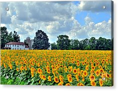Field Of Sunflowers Acrylic Print by Kathleen Struckle