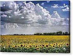Field Of Sunflowers Acrylic Print by Tamyra Ayles