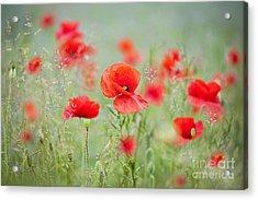 Field Poppies Acrylic Print by Jacky Parker