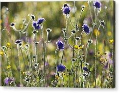 Field Scabiosa _knautia Arvensis__ Acrylic Print by Carl Bruemmer