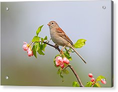 Field Sparrow On Apple Blossoms Acrylic Print by Daniel Behm