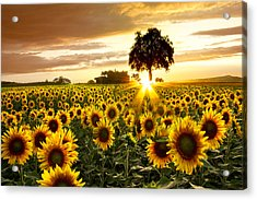 Fields Of Gold Acrylic Print by Debra and Dave Vanderlaan