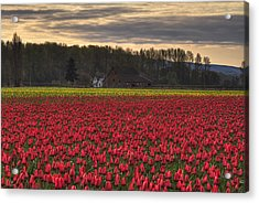 Fields Of Tulips Acrylic Print by Mark Kiver