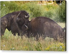Fighting Bison Acrylic Print by Mike Cavaroc