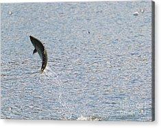 Fighting Chinook Salmon Acrylic Print by Mike  Dawson
