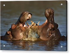 Fighting Hippo's Acrylic Print by Johan Swanepoel