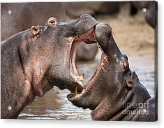 Fighting Hippos Acrylic Print by Richard Garvey-Williams