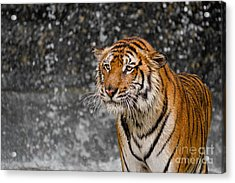 Final Drops Acrylic Print by Ashley Vincent