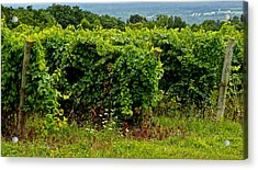 Finger Lakes Vineyard Acrylic Print by Frozen in Time Fine Art Photography