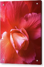 Fire And Ice Floral Begonia Acrylic Print by Jennie Marie Schell