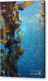 Fish Hiding In Kelp On The Ocean Floor 5d24849 Acrylic Print by Wingsdomain Art and Photography