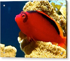 Fish Painted Red Acrylic Print by Danielle  Broussard