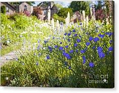 Flax Flowers In Summer Garden Acrylic Print by Elena Elisseeva
