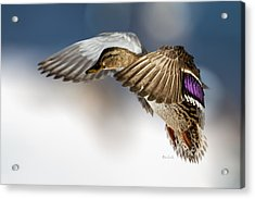 Flight Of The Mallard Acrylic Print by Bob Orsillo