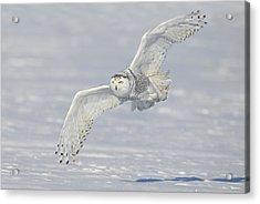 Flight Of The Snowy Acrylic Print by Daniel Behm