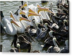 Flock Of Pelicans In Water, Galveston Acrylic Print by Panoramic Images