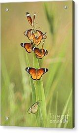 Flock Of Plain Tiger Danaus Chrysippus Acrylic Print by Alon Meir
