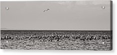 Flock Of Seagulls In Black And White Acrylic Print by Sebastian Musial