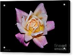 Floribunda Rose In Full Bloom Acrylic Print by Susan Wiedmann