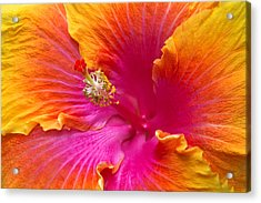 Flower - Hibiscus Rosa-sinesis - Chinese Hibiscus - Appreciation Acrylic Print by Mike Savad