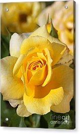 Flower-yellow Rose-delight Acrylic Print by Joy Watson