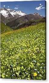 Flowering Hay Meadow Acrylic Print by Bob Gibbons