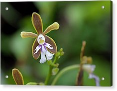 Flowering Orchid Oerstedella Exasperata Acrylic Print by Thomas Wiewandt
