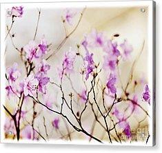 Flowering Rhododendron Acrylic Print by Elena Elisseeva