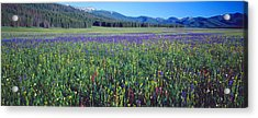 Flowers In A Field, Salmon, Idaho, Usa Acrylic Print by Panoramic Images
