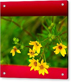 Flowers In Red Fence Acrylic Print by Darryl Dalton