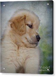 Fluffy Golden Puppy Acrylic Print by Susan Candelario