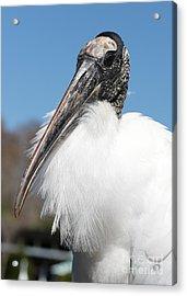 Fluffy Wood Stork Acrylic Print by Carol Groenen