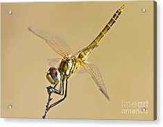 Fly Dragon Fly Acrylic Print by Heiko Koehrer-Wagner
