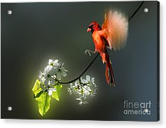 Flying Cardinal Landing On Branch Acrylic Print by Dan Friend