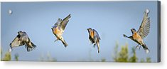 Flying Acrylic Print by Jean Noren