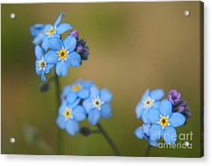 Forget Me Not 01 - S01r Acrylic Print by Variance Collections