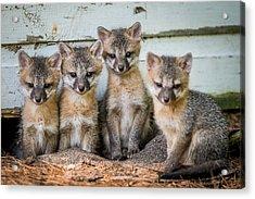 Four Fox Kits Acrylic Print by Paul Freidlund