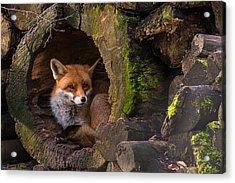 Fox Acrylic Print by Cees Van Ginkel