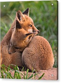 Fox Cubs Cuddle Acrylic Print by William Jobes