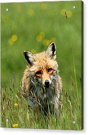 fox Acrylic Print by Dragomir Felix-bogdan