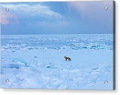 Fox Of The North Country Iv Acrylic Print by Mary Amerman