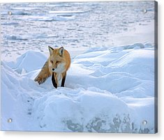 Fox Of The North II Acrylic Print by Mary Amerman